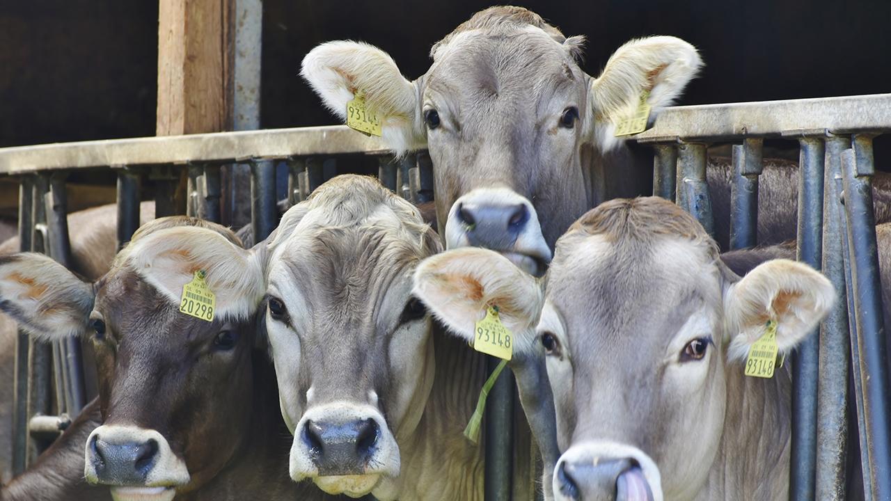 México recibirá ganado bovino certificado procedente de Guatemala