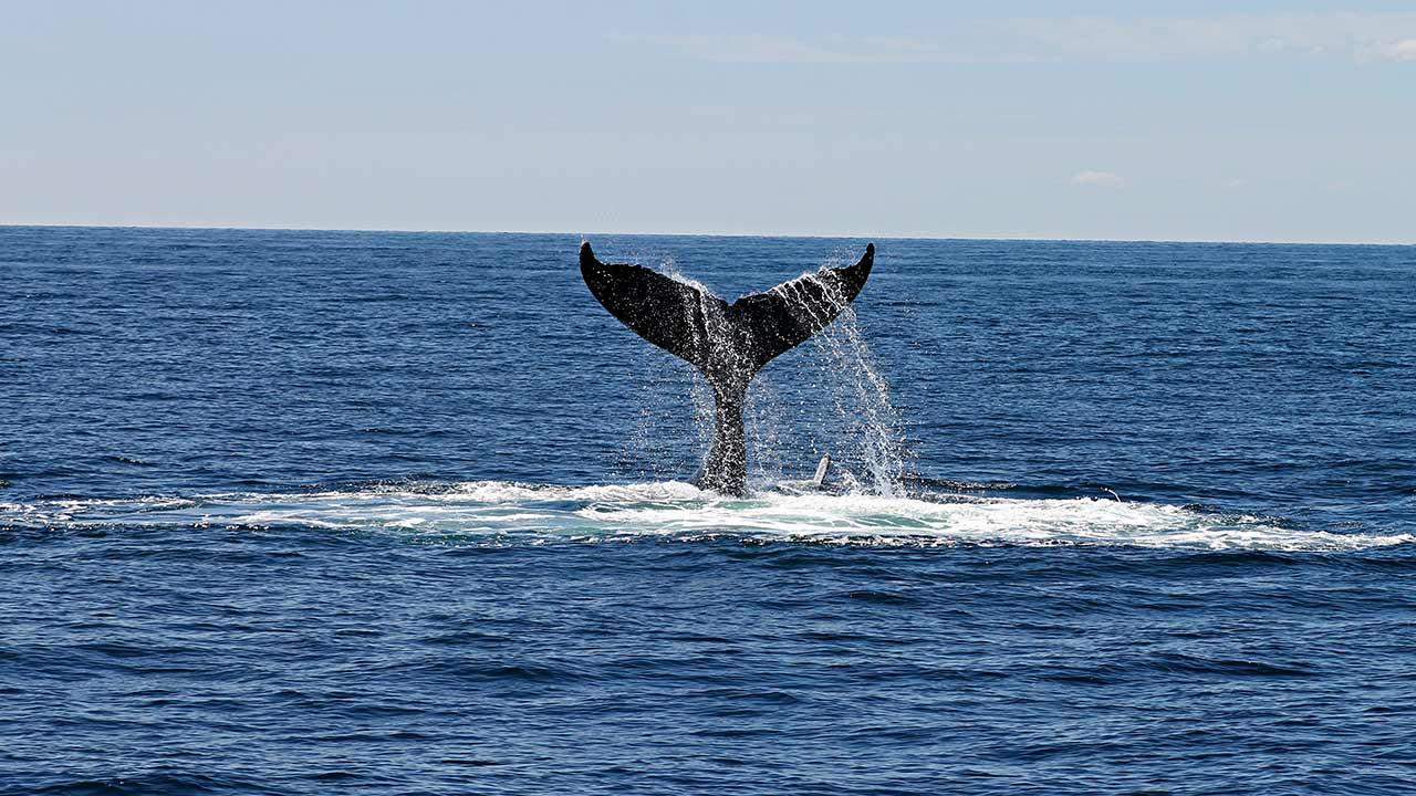 Cuidar una ballena ayuda más al ambiente que plantar miles de árboles