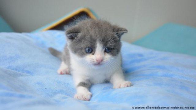 Compañía biotecnológica clona por primera vez a un gato doméstico en China