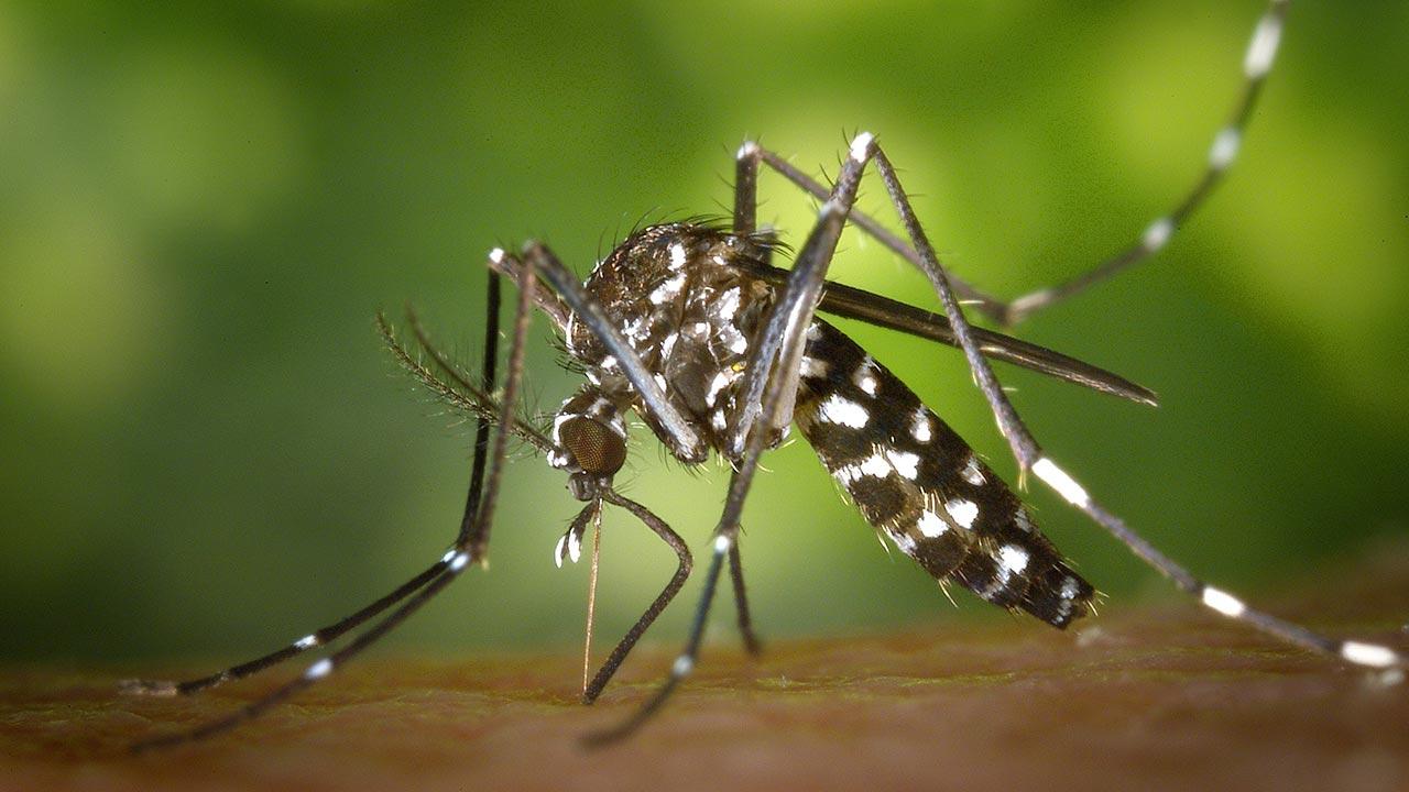 Mosquitos genéticamente modificados se multiplican en Brasil