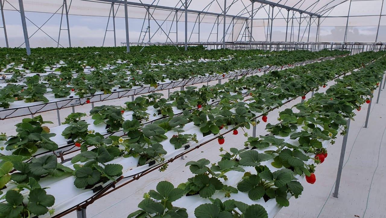 Baru Fresh inaugura su segunda planta hidropónica en Panamá
