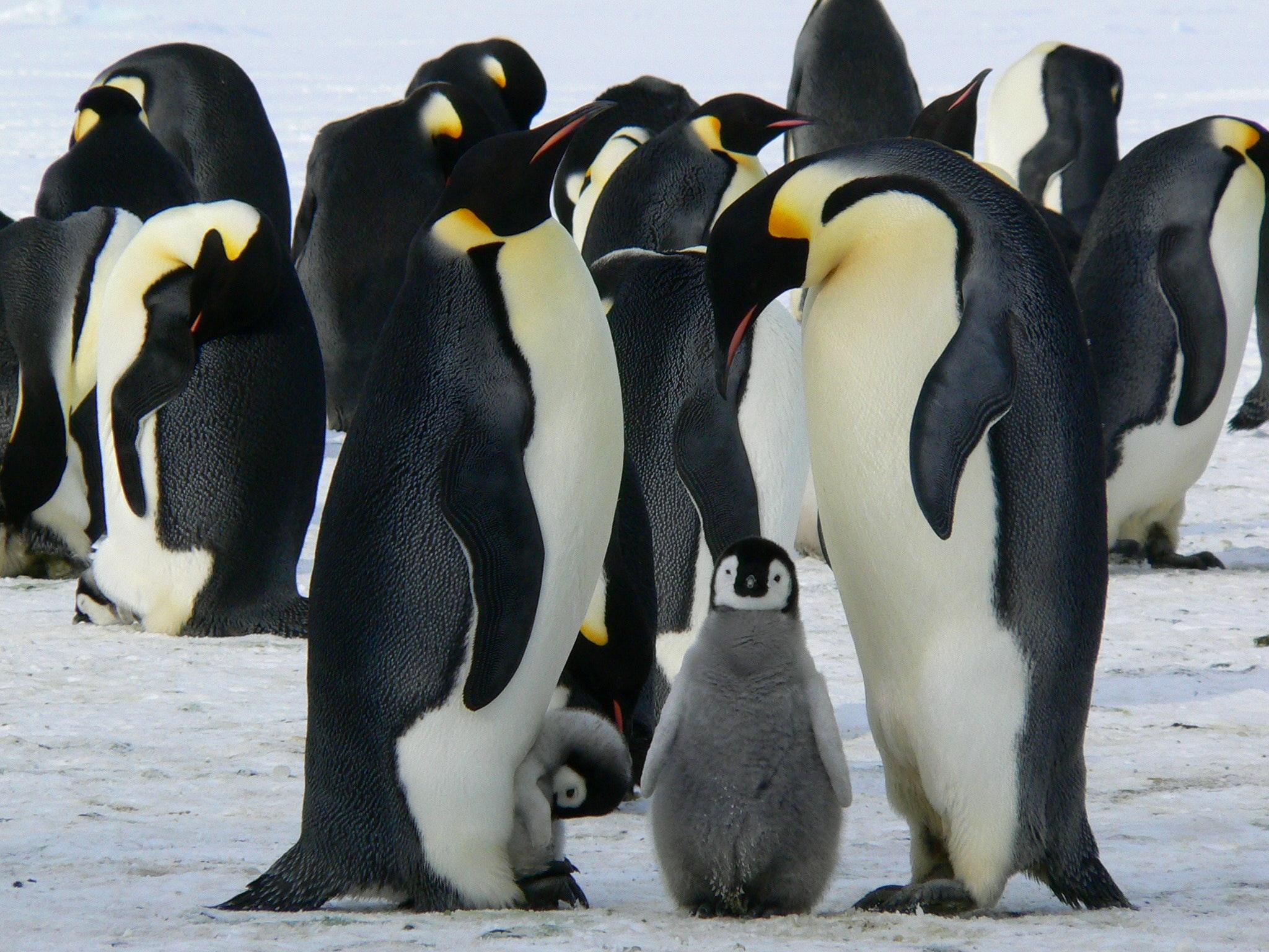 El cambio climático podría extinguir a los pingüinos emperador