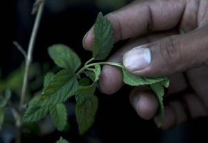 Periodista deja oficio para rescatar uso de plantas ancestrales en Nicaragua