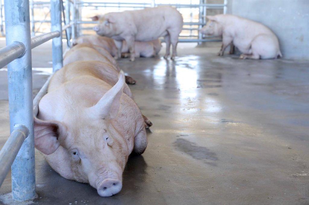 Inauguran en El Salvador planta procesadora de carne de cerdo
