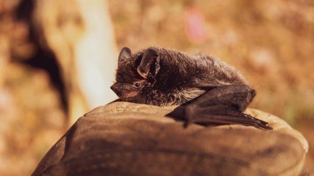 Murciélagos aplican distanciamiento social cuando están enfermos: estudio