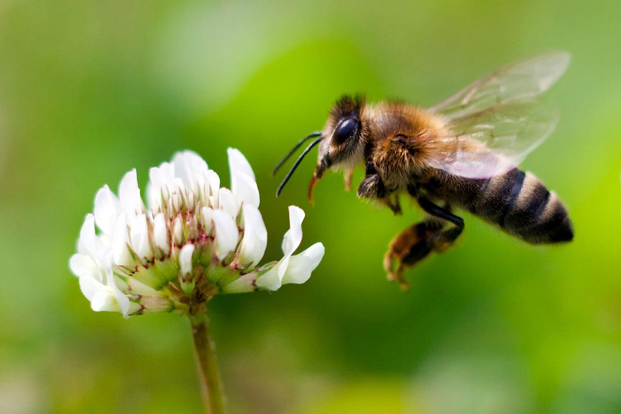 Apicultores de Costa Rica piden proteger a las abejas y parar intoxicaciones