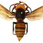 avispon gigante asiatico avispa plaga