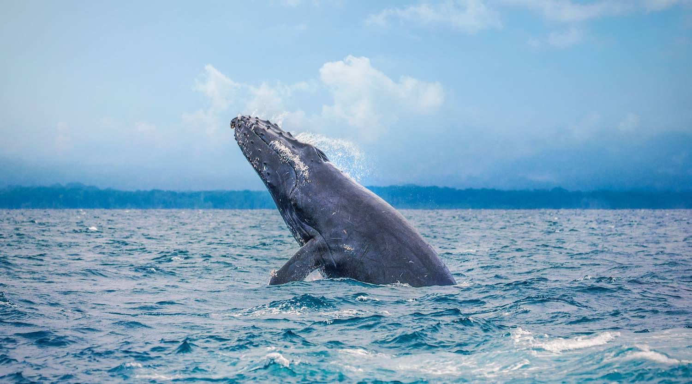 Costa Rica entre los mejores santuarios naturales para ver ballenas