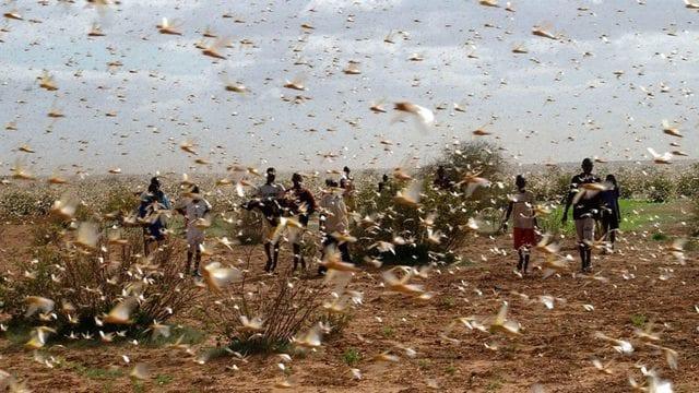 Brasil, en alerta por plaga de langostas; gobierno declara emergencia sanitaria