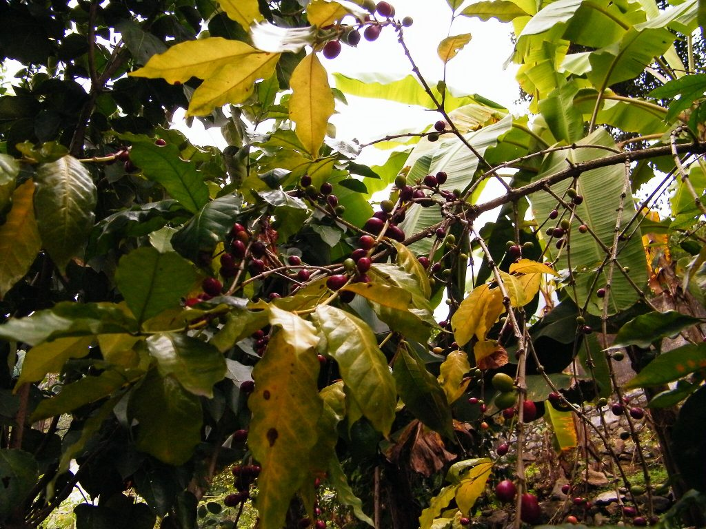 plata de café Panamá