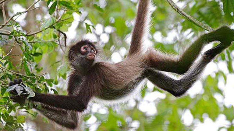 Los monos araña son similares a computadoras colectivas: estudio