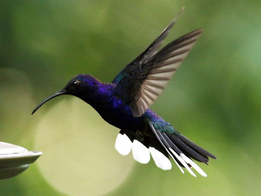 Colibríes ayudan a reactivar turismo en parques Hondureños