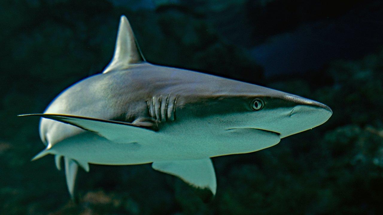 Miles de tiburones morirían para producir vacunas contra COVID-19