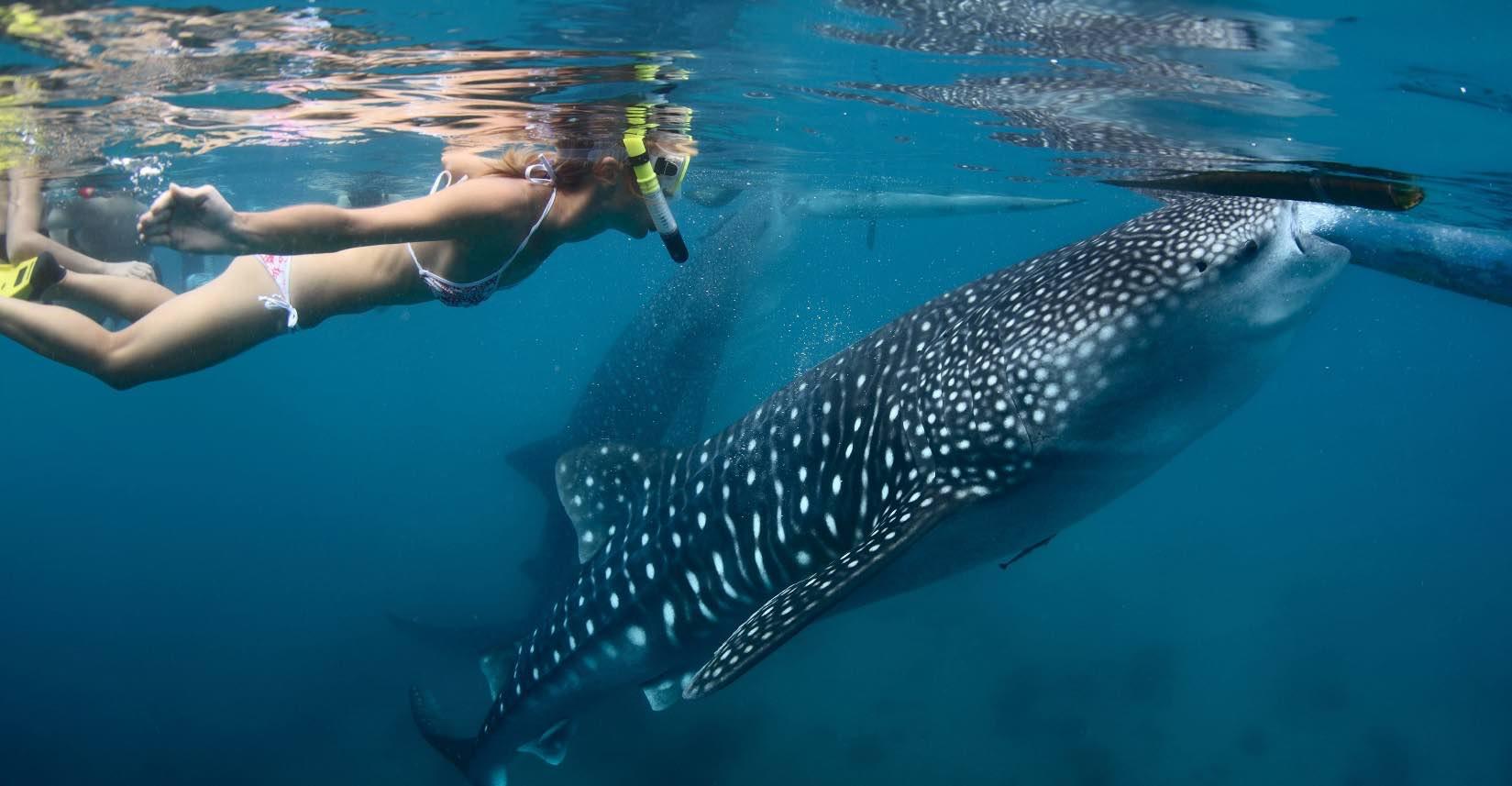 Belice y Nicaragua entre los mejores lugares para nadar con el tiburón ballena: Lonely Planet