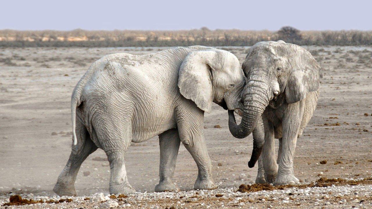 Elefantes africanos enfrentan creciente peligro de extinción, alertan