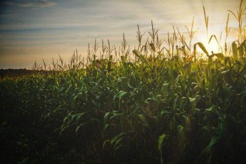 Importación de maíz en Centroamérica incrementó 10% en 2019 y 2020