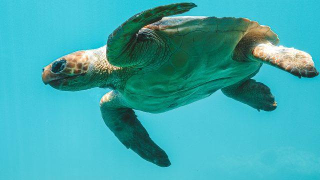 Guna Yala tortugas baulas