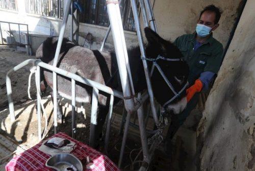 El suero de plasma de burros, la nueva apuesta de Bolivia contra la Covid-19