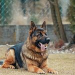 perros detección de COVID-19