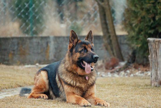 Los perros pueden detectar el COVID-19 con una precisión de hasta el 94%