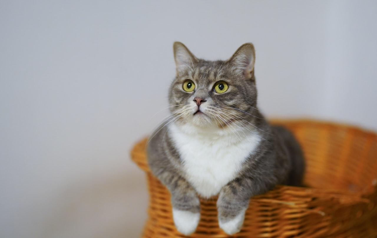 ¿Sabes si tu gato es feliz?, esta app te ayuda a descifrarlo