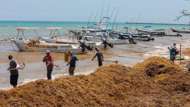 El Caribe busca sacar provecho al sargazo como fertilizante, combustible y alimento animal