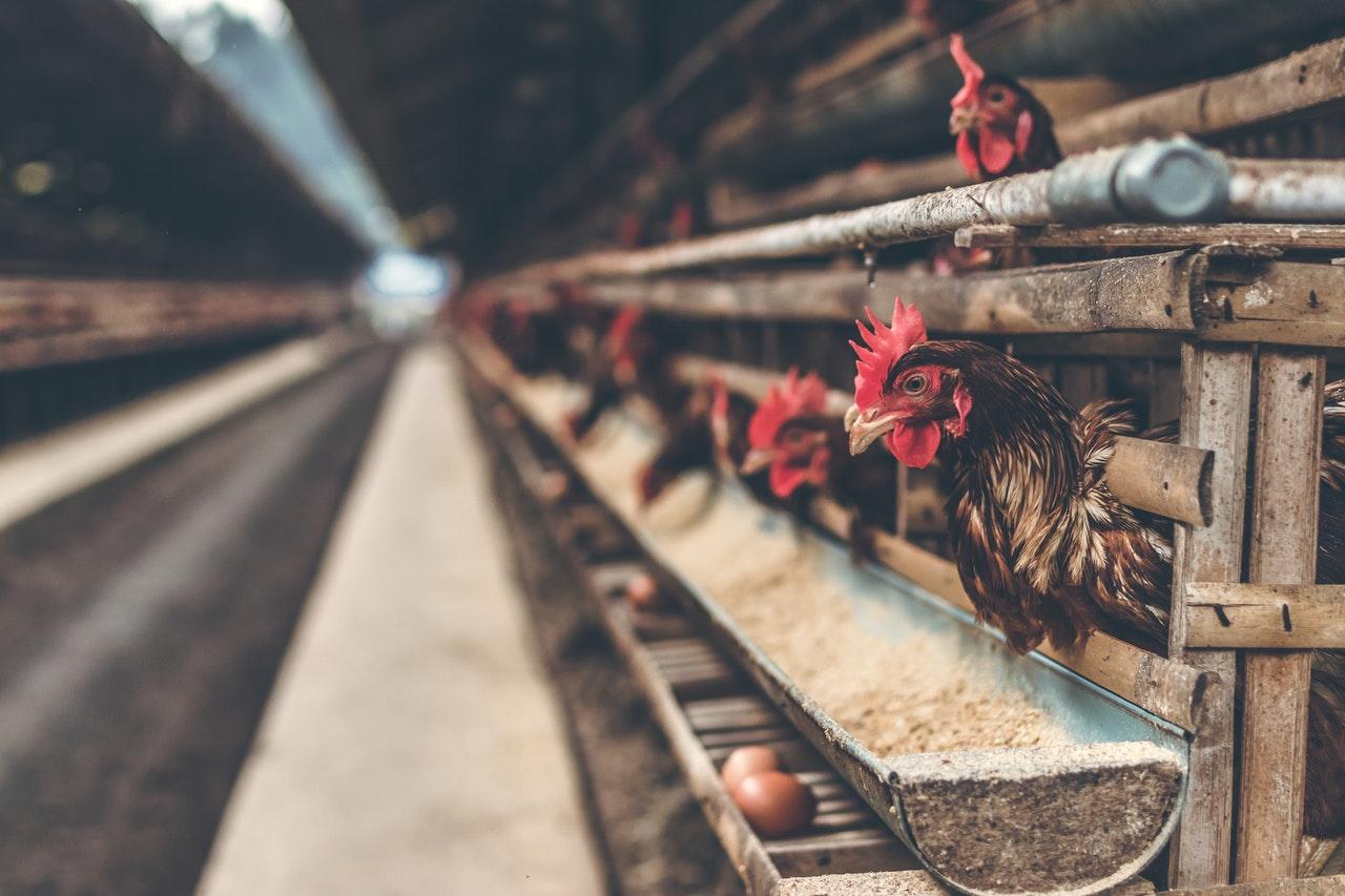 China informa caso de gripe aviar de nueva cepa H5N6 en un hombre